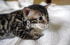 Элитные бенгальские котята выставочного класса по летней скидке