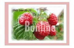 Саженцы малины, смородины, ежевики, клюквы, голубики продажа оптом и розницу по Украине, лучшие цены