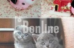 Шотландские котята по приемлемым ценам
